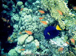 Anthias and blue tang on coral reef in the Aqaba Bay. by Wiljo Jonsson 